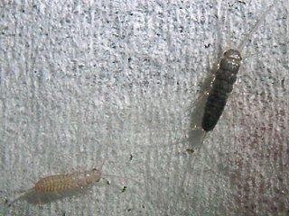 クロマツシミの4齢幼虫