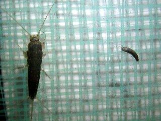 紙魚(クロマツシミ)の成虫と幼虫