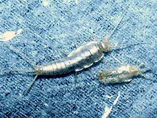 脱皮直後の紙魚と脱皮殻1