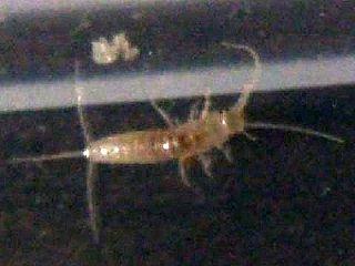 鱗粉のないヤマトシミの幼虫